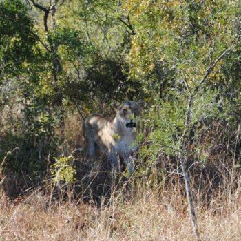 Nkelenga Tented Camp Lion