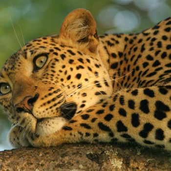 Royal Malewane Leopard in Tree