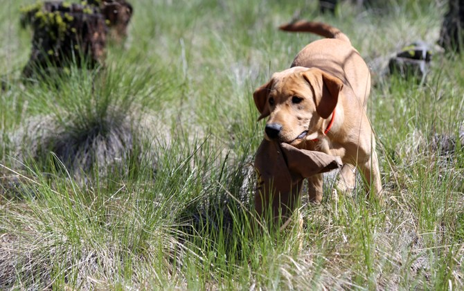 Kamloops Search and Rescue dog dies after battle with cancer