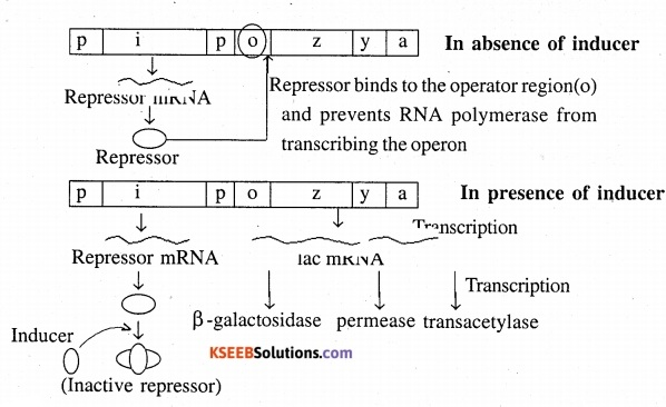 2nd PUC Biology Question Bank Chapter 6 Molecular Basis of Inheritance 20