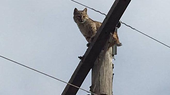 bobcat-copy_333624