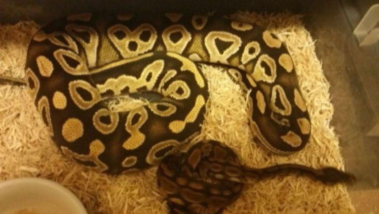 nc_pythons0915_1500x845_365727