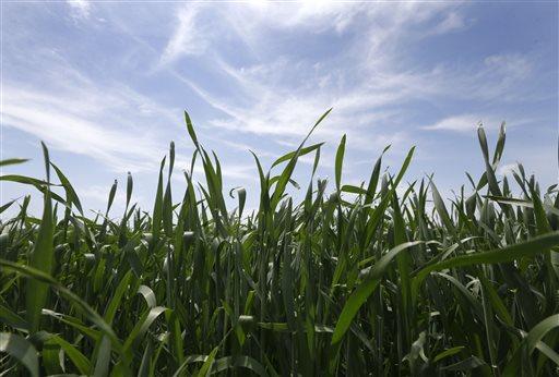 Winter Wheat_128193