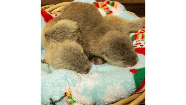 KC otters