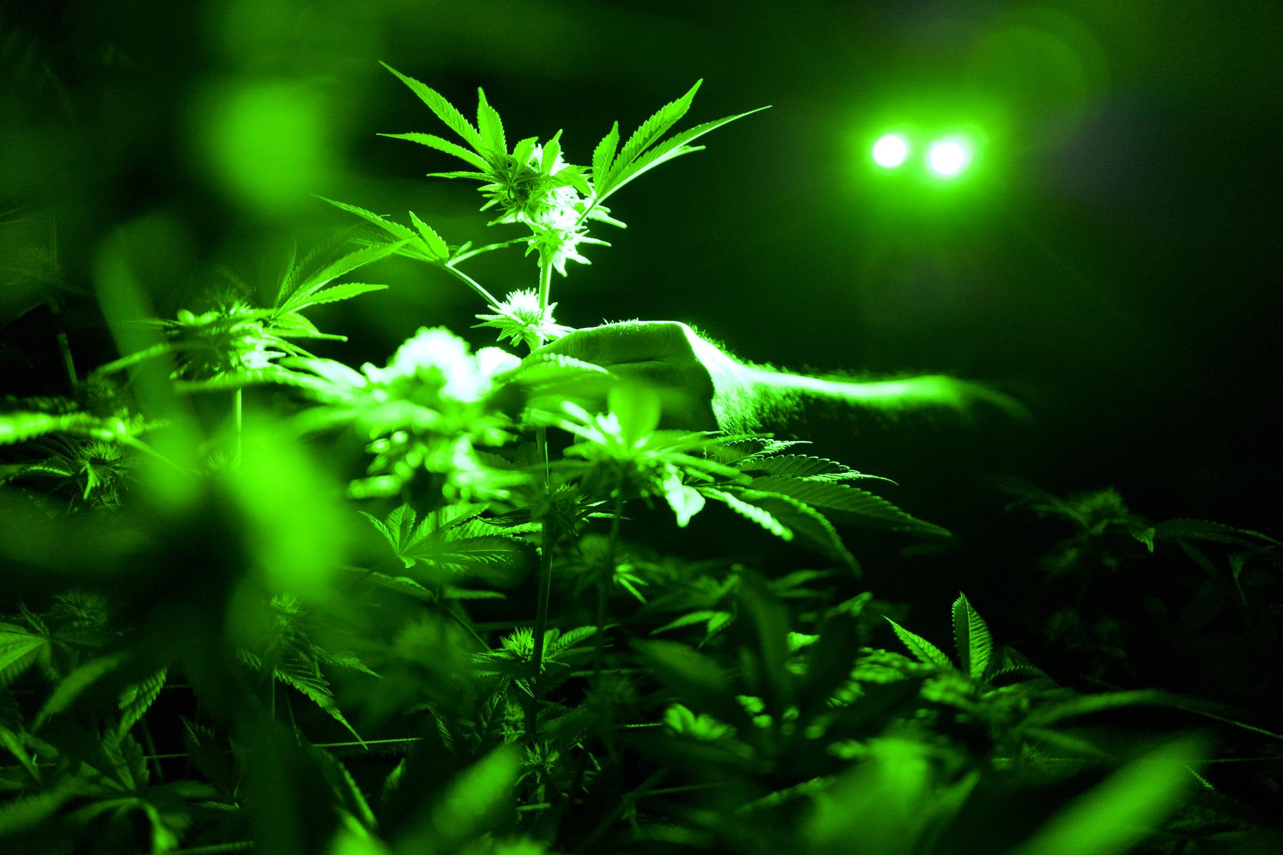 Marijuana Opioids_1560200203384