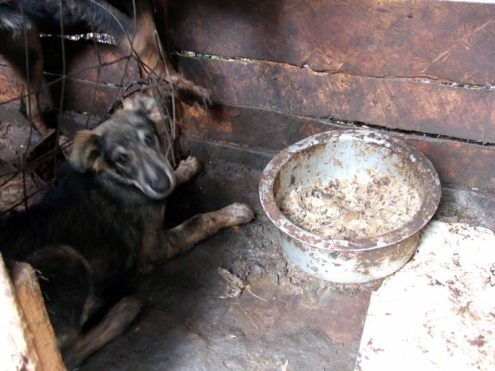 Terrifed dog in small dark filthy kennel with sour posho