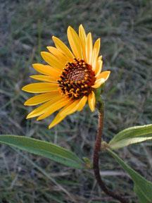 Kansas Wildflowers And Grasses Stiff Sunflower
