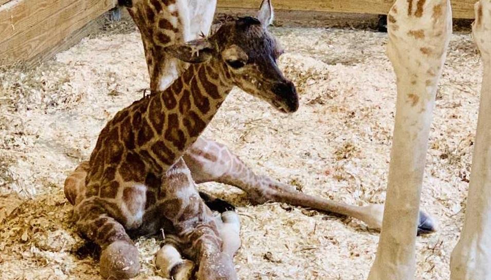 april giraffe baby_1552762805929.jpg-846652698.jpg