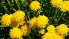Weeds such as Dandelions