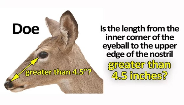 Deer Measure Doe