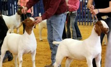 Sheep and Goat Show