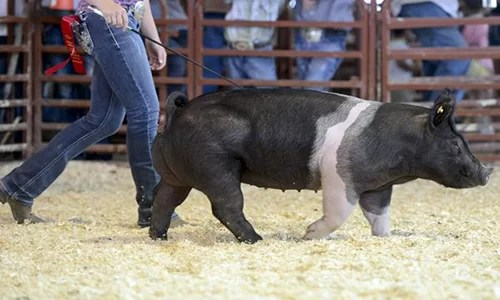 Swine Hog Show Fair