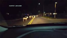 Arizona woman's road to work blocked by massive herd of deer