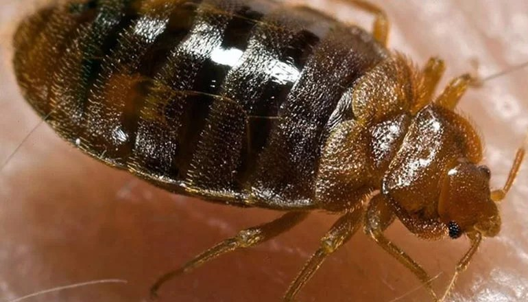 Livingston County Health Center receives several reports of bed bug infestations