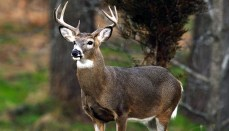 Antlered Deer in the forest