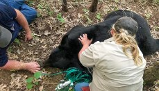 Bruno Bear Transported to habitat