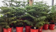 Norfolk Island Pine Plants in a pot