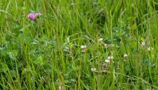 White Clover in a field
