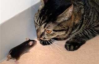 tikus tidak takut kucing, rekayasa genetik
