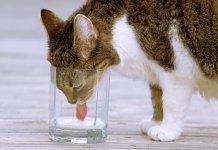 Stop Pemberian Susu sapi ke kucing