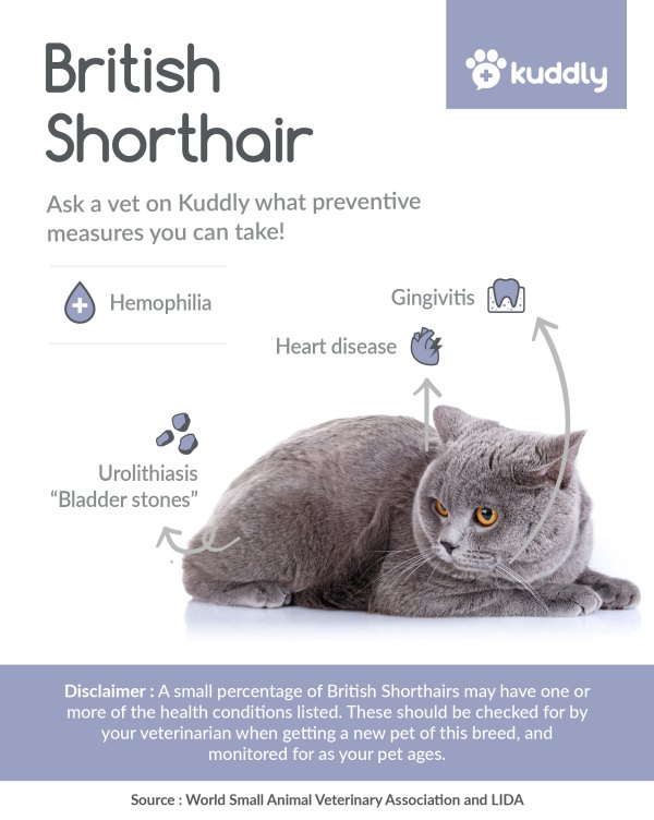 Kuddly _British Shorthair