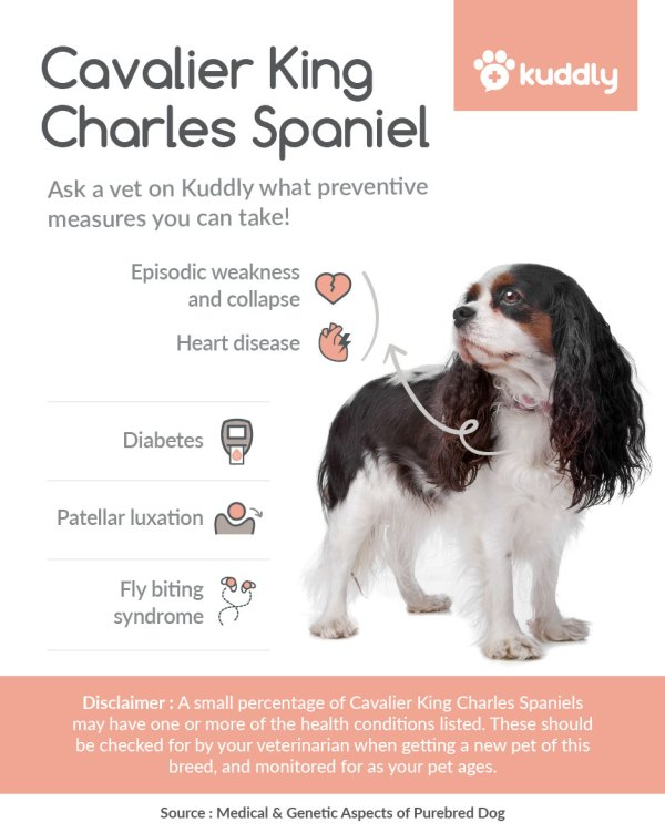 Kuddly_Cavalier King Charles Spaniel