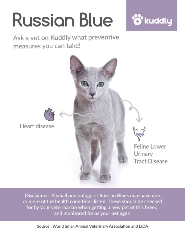 Kuddly _Russian Blue