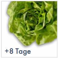 Biofresh Salatkopf der sich 8 Tage länger hält