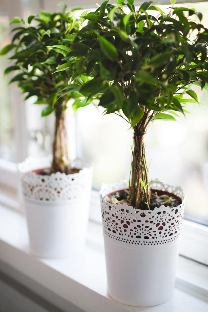 A welcome guest everywhere, because it is particularly easy to care for: The Ficus Benjamini. (Photo: Lucas Alexander)