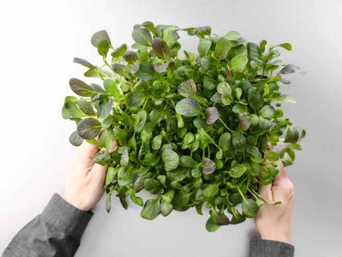 Summer is when balcony and garden herbs should actually sprout and then die because of the heat ... the