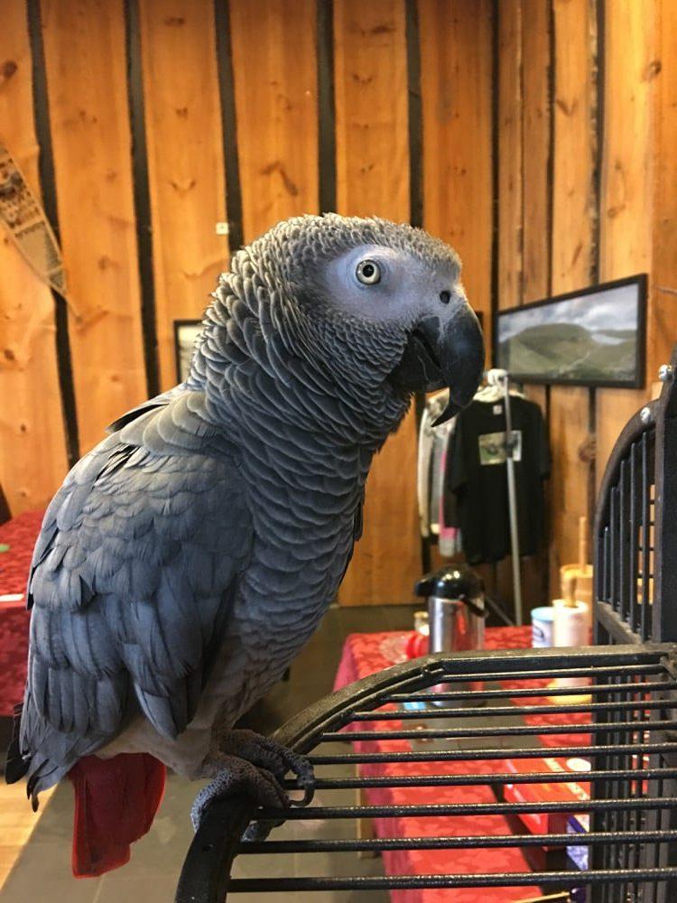 Kombi, der Papagei im Restaurant