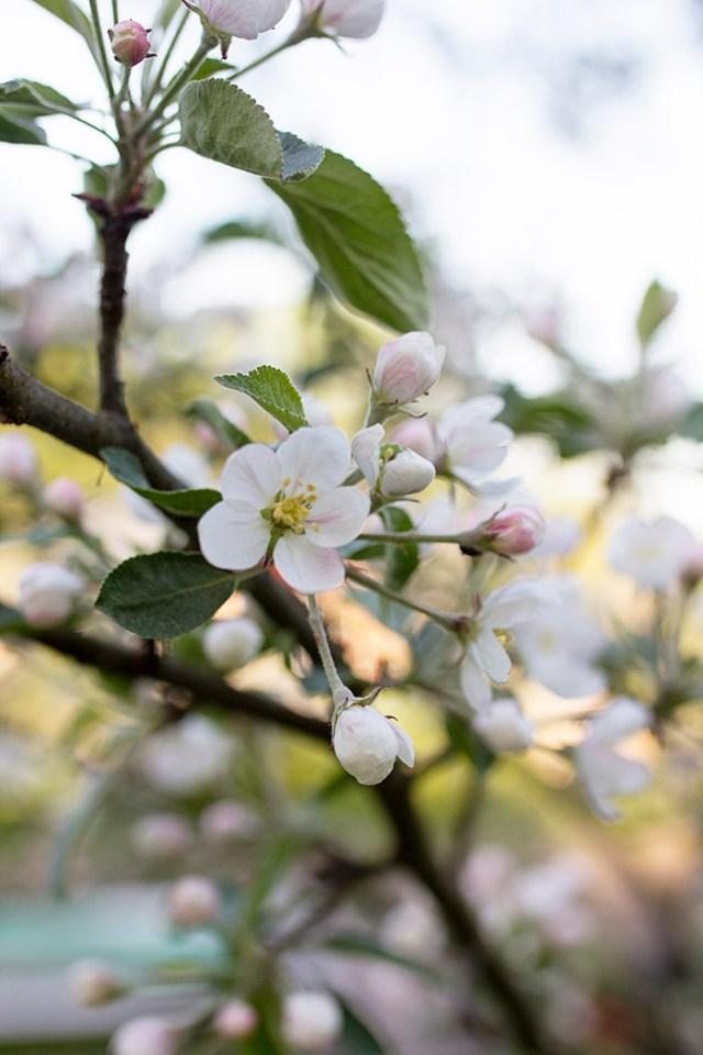 omenapuu_kukkii_2