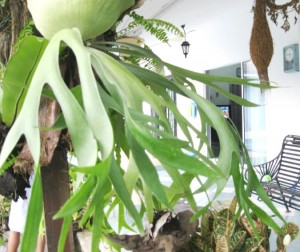 Platycerium ridleyi (Tanduk Kijang )
