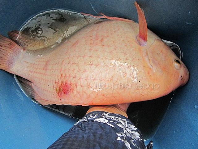 ikan kaloi Golden Giant Gourami
