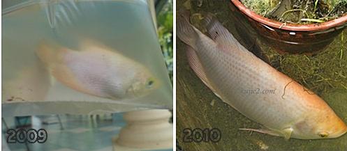 gambar ikan kaloi