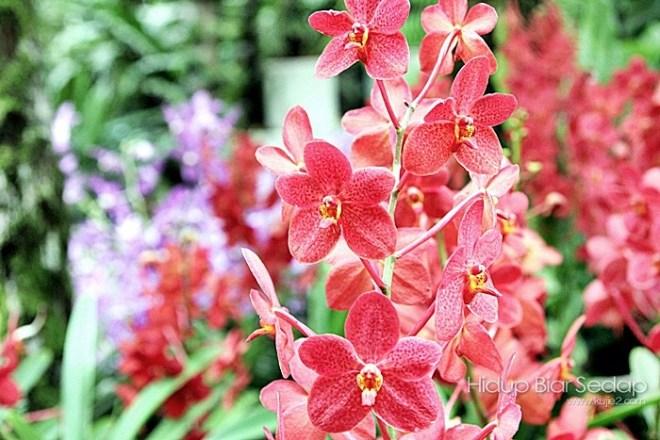 bunga orkid cantik