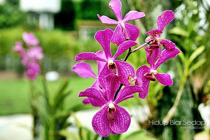 bunga orkid malaysia