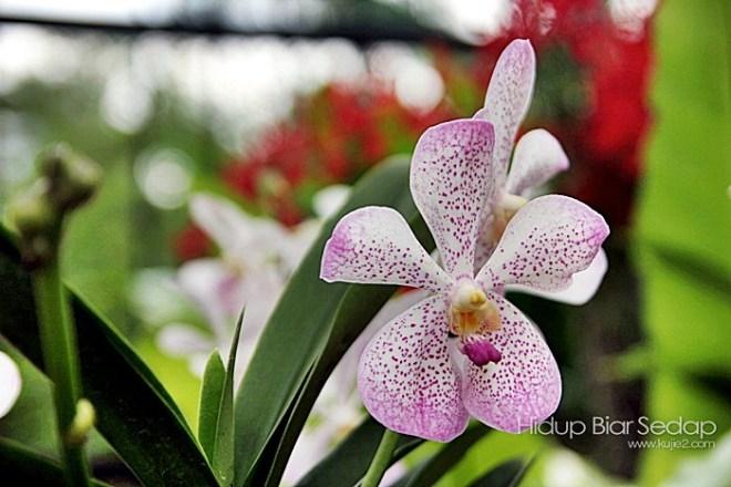 jenis orkid