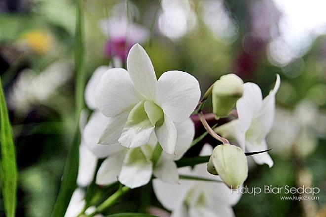 orkid putih