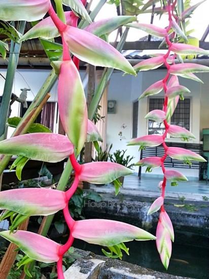 Pink Flamingo Heliconia