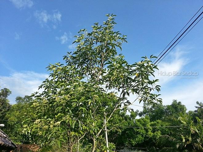pokok tenggek burung
