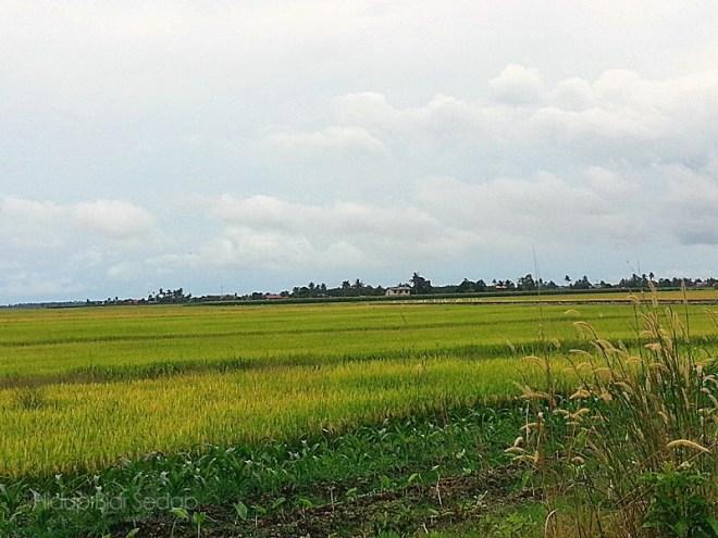penanaman padi di Tanjong Karang