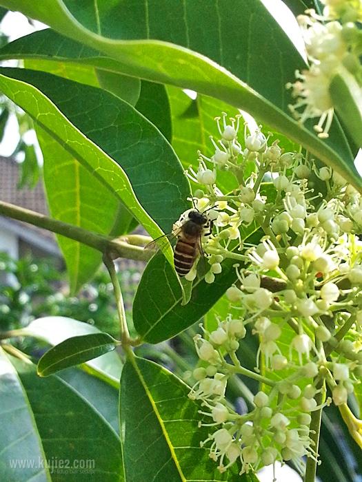 lebah-madu