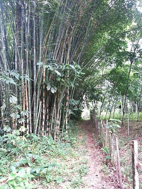 pokok buluh