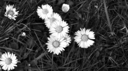 Gänseblümchen (5)