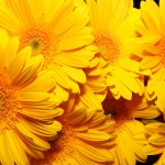 flores-gerberas-amarillas-pétalos