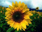 GIRASOL: La flor del verano
