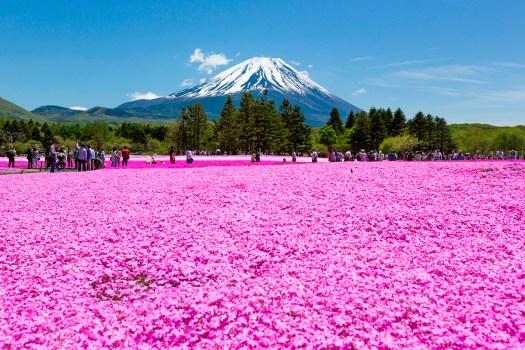 Shibazakura: Top 8 Los campos de flores más espectaculares del mundo