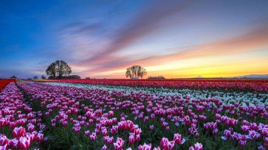 Bollenstreek; Top 8 campos de tulipanes más espectaculares del mundo