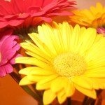 significado de los colores en las gerberas